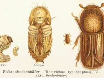 The bark beetle in different stages of development: pupa, larva, and adult (Illustration from Meyers Konversations-Lexikon, 4. Aufl. 1888)