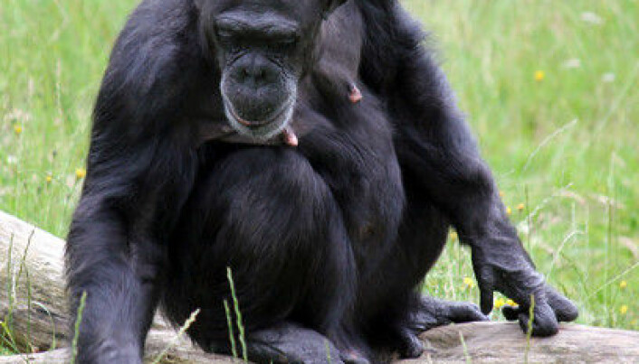 Chimpanzees have the X factor