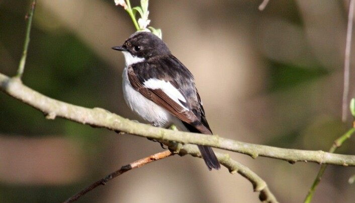 Birdsong is genetically coded