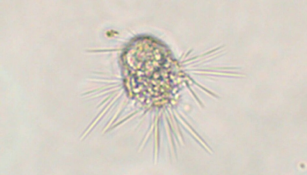 After uncounted hours of microscope viewing, Evolutionary Biologist Anders K. Krabberød spotted this specimen of Sticholonche, a single-celled marine organism. This particular individual helped researchers solve a 150-year-old biological mystery. (Photo: Anders K. Krabberød)