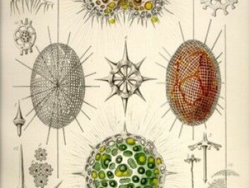 Over 150 years have passed since the renowned German scientist Ernst Haeckel described and made beautiful drawings of radiolarians and their unique skeletons. Above: his copper plate etching no. 22 (Illustration: Ernst Haeckel: Die Radiolarien, 1862)