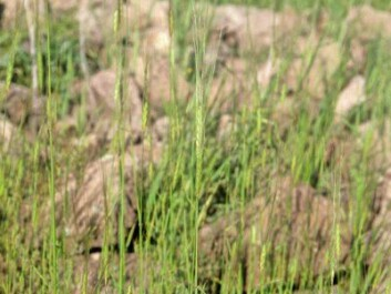 Wild einkorn, Karadag, central Turkey (Photo: Wikimedia Commons)