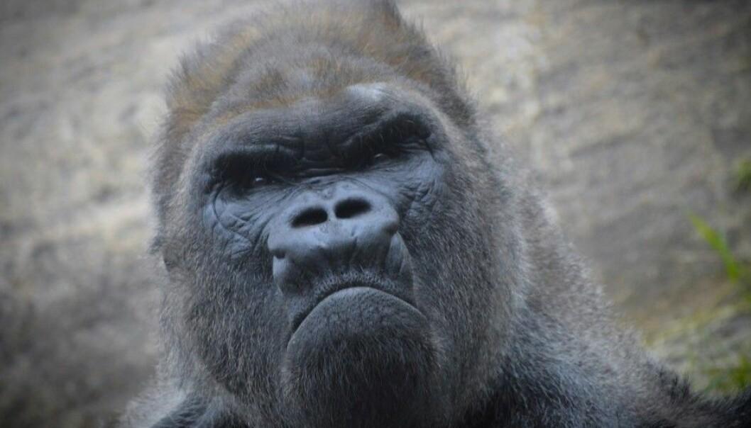 A grumpy gorilla?  (Photo: KARI K / Shutterstock / NTB scanpix)