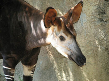 Maybe the okapi doesn't look so spectacular now, but it shocked Europeans just over a century ago. (Photo: Trisha Shears/Wikimedia Creative Commons)