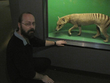 Torfinn Ørmen thinks the Tasmanian tiger is today's most likely cryptid. This stuffed specimen is exhibited at the Natural History Museum in Oslo. (Photo: Hanne Jakobsen)