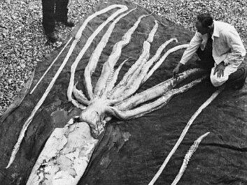 This little guy was found not far from Trondheim in 1954, and measured 9.4 metres. Giant squids were once thought to be a myth but have proven to be very much alive. (Photo: The NTNU Museum of Natural History and Archaeology)