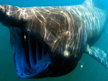 The basking shark is one of the causes of the Nessie myth. (Photo: Greg Skomal/SWFSC-NOAA)