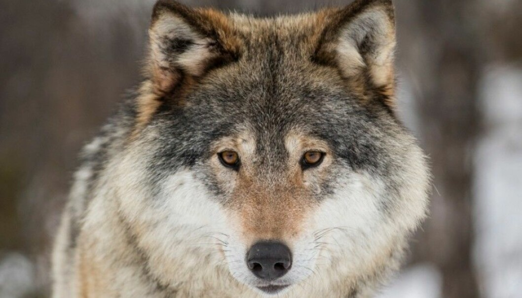 Those who oppose allowing wolf populations to expand in Norway claim that the country's wolves have hybridized with dogs, and that the original wolves were smuggled into the country rather than coming here on their own. They argue this means there is no reason to protect the animals, which are listed on the 2015 Norwegian Red List for Species as critically endangered. (Photo: Heiko Junge / NTB scanpix)