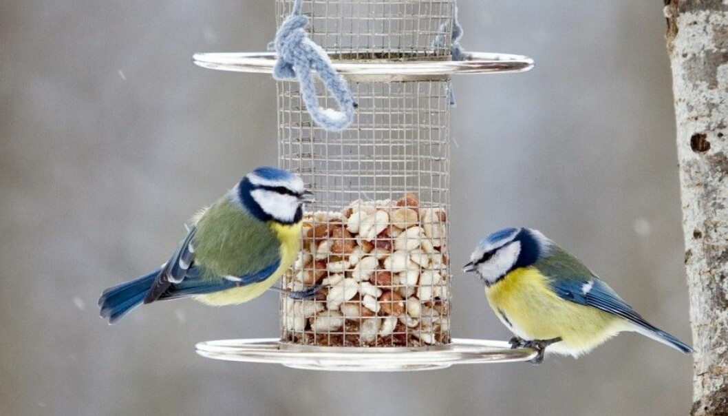 Two blue tits nibbling on nuts from a birdfeeder. Usually it is the great tit that benefits the most from people's feeding of birds, according to Biologist Tore Slagsvold. (Photo: Paul Kleiven / NTB scanpix)
