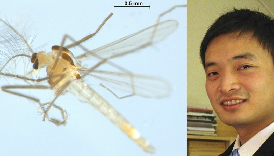 Tanytarsus adustus is a new species of chironomid, or non-biting midge, discovered in Norway by Xiaolong Lin. (Photo: Xiaolong Lin, NTNU University Museum)