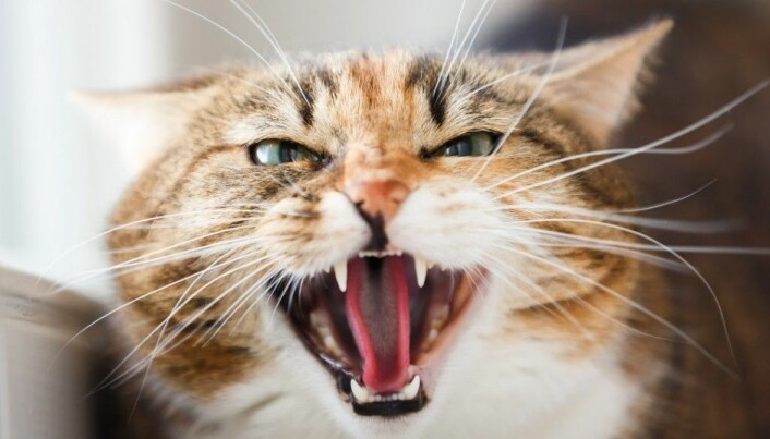 Is your cat unhappy? It might have arthritis