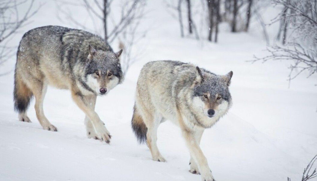 Between 51 to 56 wolves lived in Norway in the winter of 2016/2017, with a similar number living on the border between Sweden and Norway, according to rovdata.no. (Photo: Kjetil Kolbjornsrud / Shutterstock/ NTB scanpix)