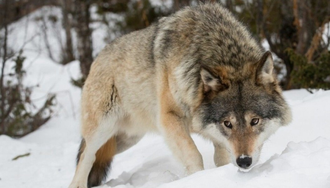 A wolf does not know or care whether it is in Norway or Sweden. But wildlife managers on either side of the border operate with different political and economic platforms. This causes trouble. (Photo: Heiko Junge / NTB scanpix)