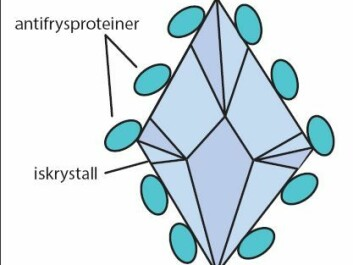 Antifreeze proteins encapsulate ice crystals that form in blood and prevent them from growing and injuring codfish. These are more effective than alcohols, which other organisms use as antifreeze. (Illustration: Helle Baalsrud)