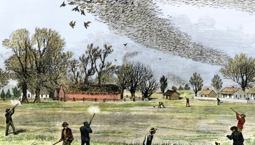 This illustration shows how passenger pigeons were shot in huge numbers by Europeans. (Illustration: Smith Bennett, Creative Commons)