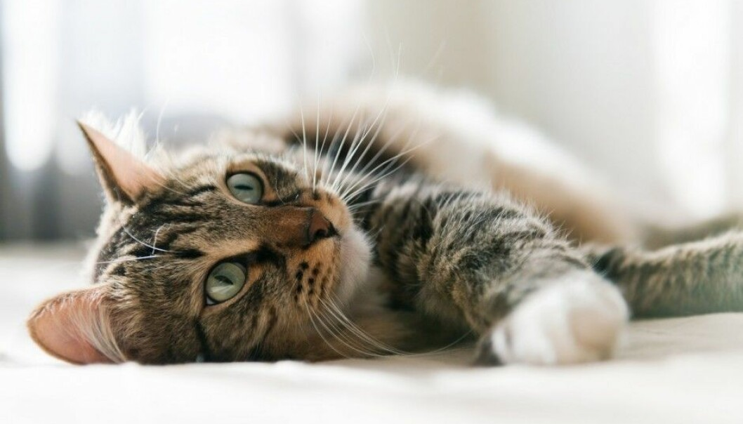 A biologist explains that it is hard to get cats to do what we want because they basically don't accept us as the boss. (Photo: Shutterstock / NTB scanpix)