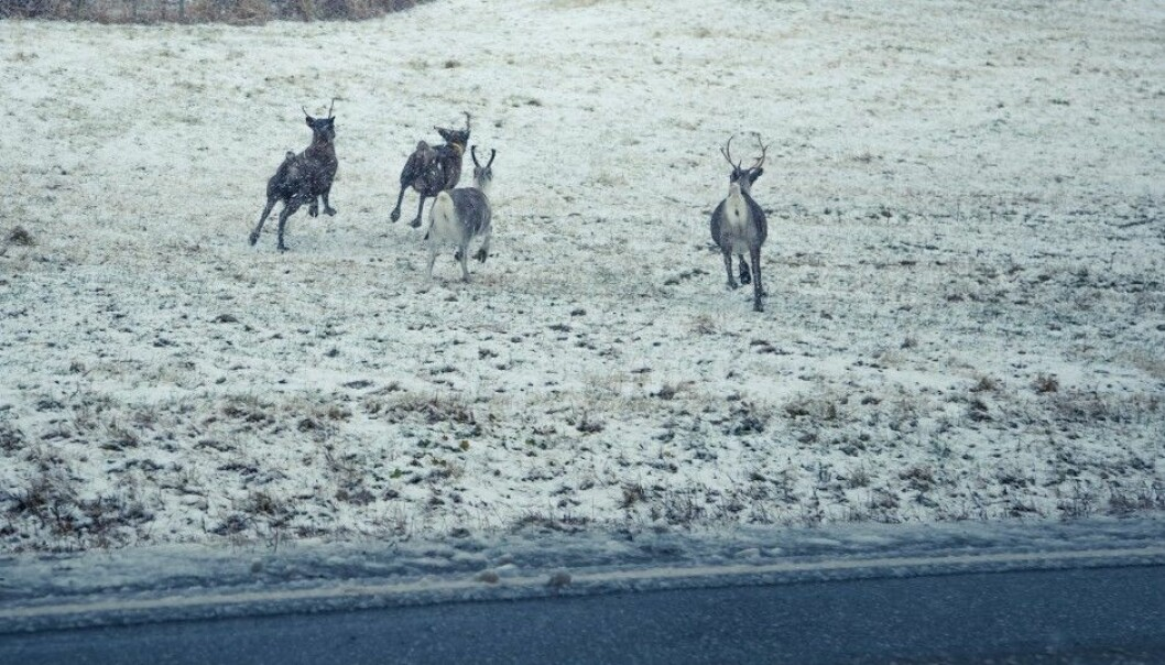 Wild reindeer are among the animals in Norway impacted in a negative way when roads are constructed across ancient migration routes. (Photo: Colourbox)