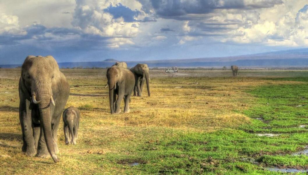 African elephants. (Photo: Trine Hay Setsaas)
