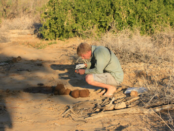 Louis Hunninck, PhD student at NTNU, collecting samples of elephant dung for analysis. The method has, as opposed to traditional blood sampling, very little impact on the animals. (Photo: Iris Hagvåg Ringstad, NTNU)