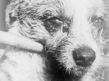 This dog is suffering the final stages of rabies. The picture was taken in 1963. (Photo: CDC/Barbara Andrews/Wikimedia Commons)