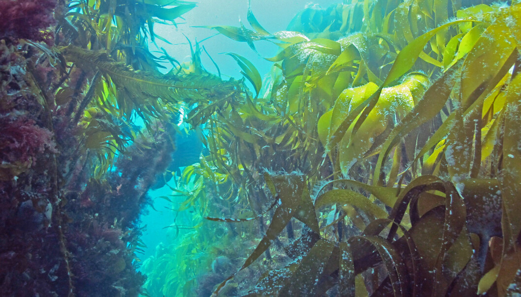 "Kelp is a macroalgae that form underwater forests, or so called ""blue forests"". They play a key role in marine ecosystems by supplying food and shelter for many species of crustaceans, fish, seabirds and mammals. Here, an exuberant tangle kelp forest (Laminaria hyperborea). (Photo: NIVA/J. Gitmark)"