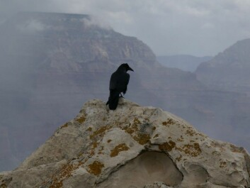 A raven (Corvus corax) looks out over the Grand Canyon. Its genes perhaps contain the genetic remnants fro an older species. (Photo: Hermann Luyken, Wikimedia Commons CC0 1.0)