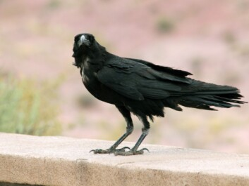 A Chihuahan raven (Corvus cryptoleucus) in Arizona. (Photo: Quinn Dombrowski, Wikimedia Commons CC BY-SA 2.0)