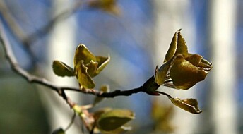 How do trees know when to awake in spring?