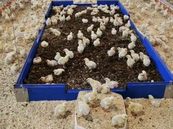 Chickens need to take dust baths and prefer peat moss to clean their feathers. Peat provides a greater insulating effect than sawdust. (Photo: Anette Møller / Den Stolte Hane)