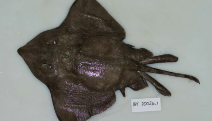 The mysterious Arctic skate