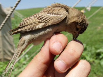 The Bactrianus sparrow probably looks like an ancestral house sparrow. It looks more or less like a house sparrow, but is shy and avoids people. The photo shows one of the birds the researchers caught in Kazakhstan. It's probably not that happy in this photo. But never fear: none of the birds in the study were injured and all were released afterwards. (Photo: Ravinet, et al.)