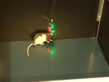 Marco the rat runs around the box looking for food while sensors measure the activity of single cells in the brain. (Photo: Eivind Torgersen)