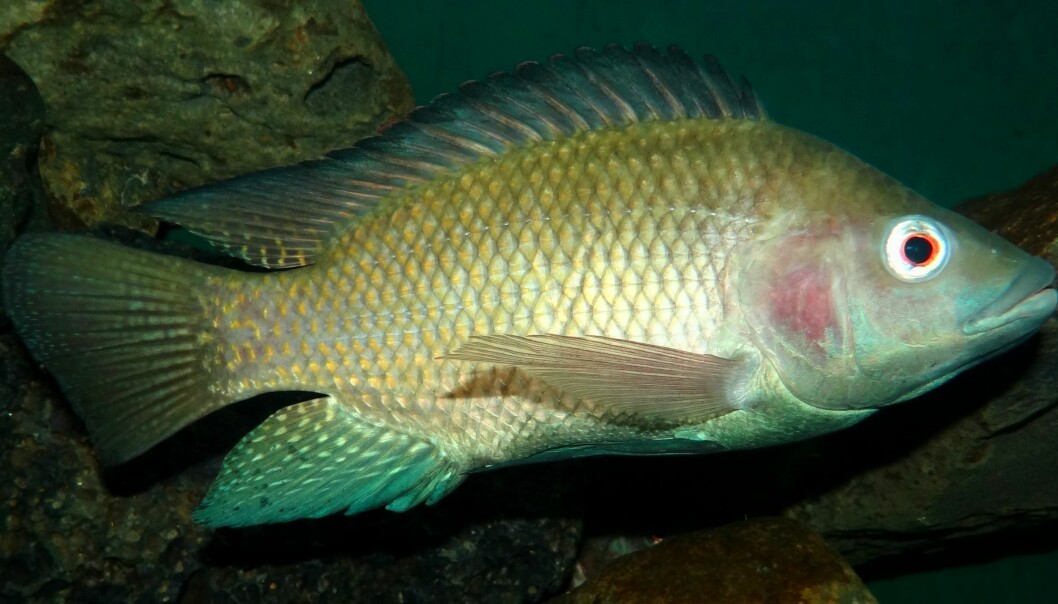 Tilapia is the second most produced aquaculture species in the world, after carp. (Photo: Wikipedia)