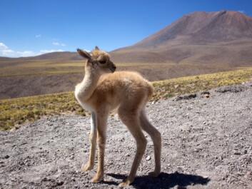 The salares territory is also home to several native species like the vicuña – the wild ancestor to the emblematic alpaca. Water shortages and changes to their habitat, could endanger these animals and they could even disappear from the area, forever. (Photo: Wkipedia)