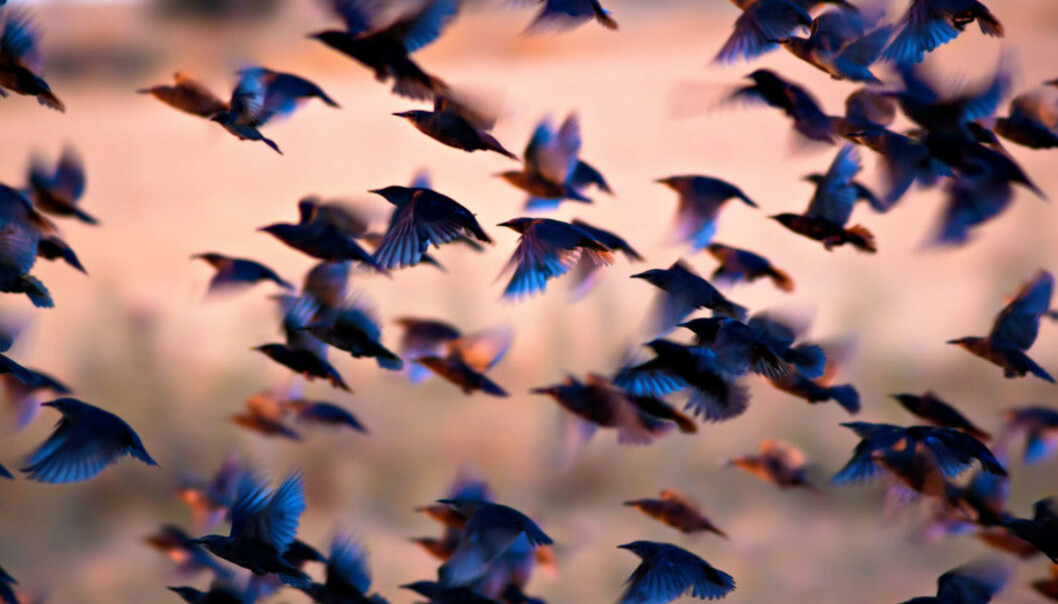 Swedish researchers believe they have found evidence that could explain how birds first began to fly. (Photo: Serkan Mutan / Shutterstock / NTB Scanpix)