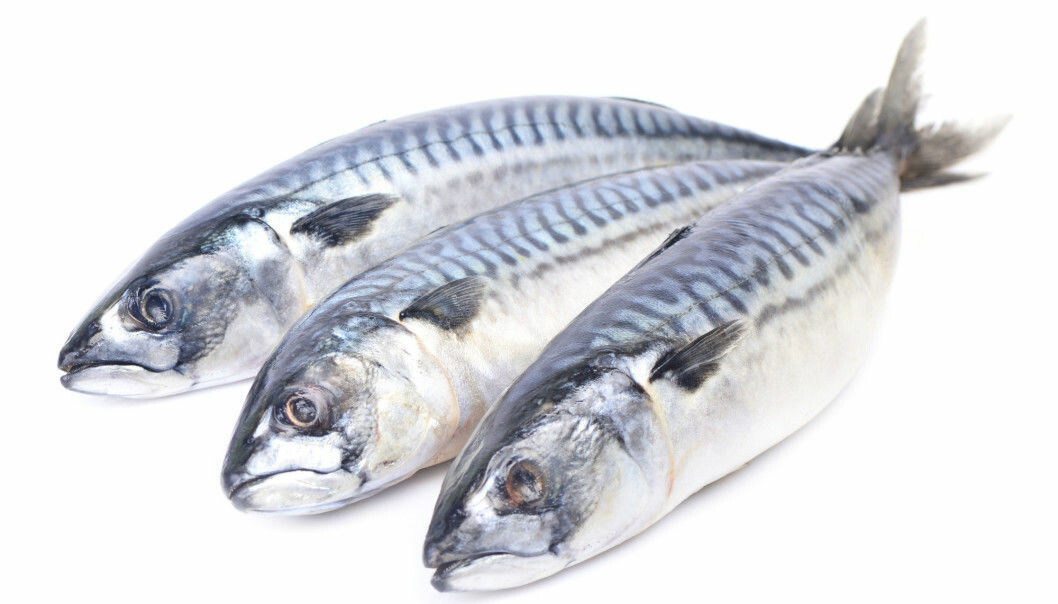 The mackerel is easily recognised by its round, streamlined body. However, until recently, the mackerel's roving lifestyle has made it difficult to learn more about the fish. (Photo: Shutterstock)