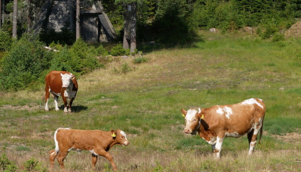 Grazing cows run into conflicts with forestry and cottage construction. Researchers think there's enough forestland for everyone. (Photo: Eivind Torgersen)