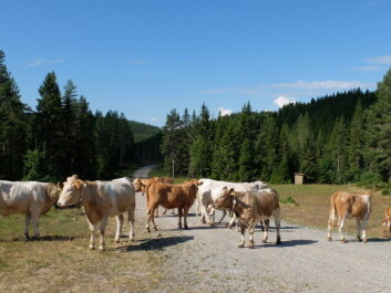 The cows like somewhat open areas best. (Photo: Eivind Torgersen)