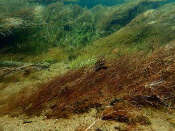 Dense underwater vegetation in Otra river (Photo: Therese Fosholt Moe, NIVA)