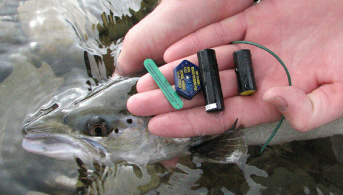 Old spawners important for salmon rivers