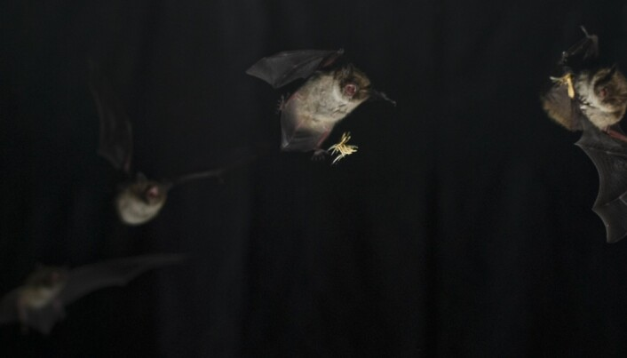 Bats have the fastest muscles of all mammals