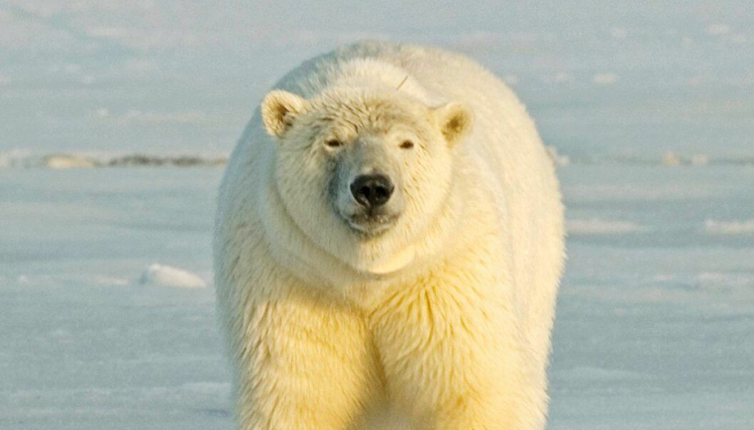 Polar bears have a double problem with chemicals that are fat-soluble, because they are at the very top of the food chain, and because they eat seals which are very rich in fat. (Photo: Colourbox)