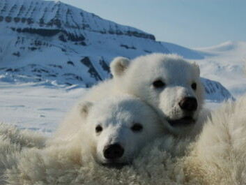 PCB might affect the polar bears' chance of survival in the Arctic (Photo: Jenny Bytingsvik)