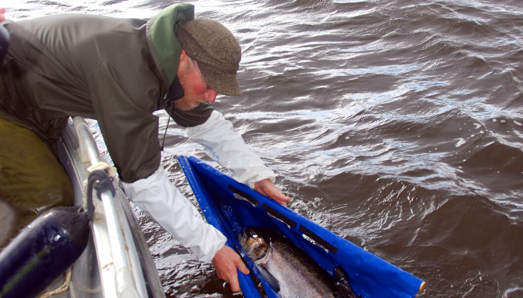 Professor Audun Rikardsen sets out a tagged salmon in the ocean. (Photo: Salmotrack)