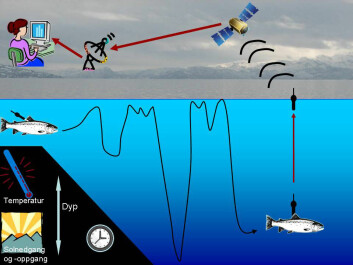 Signals from the tagged salmon are picked up by a satellite and then sent to researchers' computers. (Illustration: Audun Rikardsen / Salmotrack)