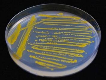 Smears of microorganisms taken from the sea (Photo: Nils Peder Willassen, University of Tromsø)