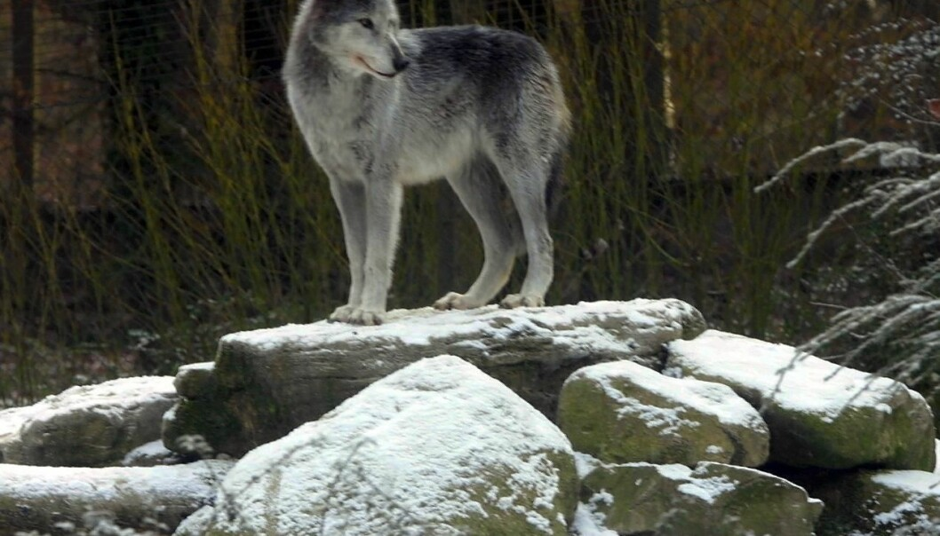The wolf population of Sweden and Norway is falling victim to a massive illegal hunt, according to researchers. (Photo: Colourbox)