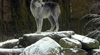 Wolves endangered by illegal hunt