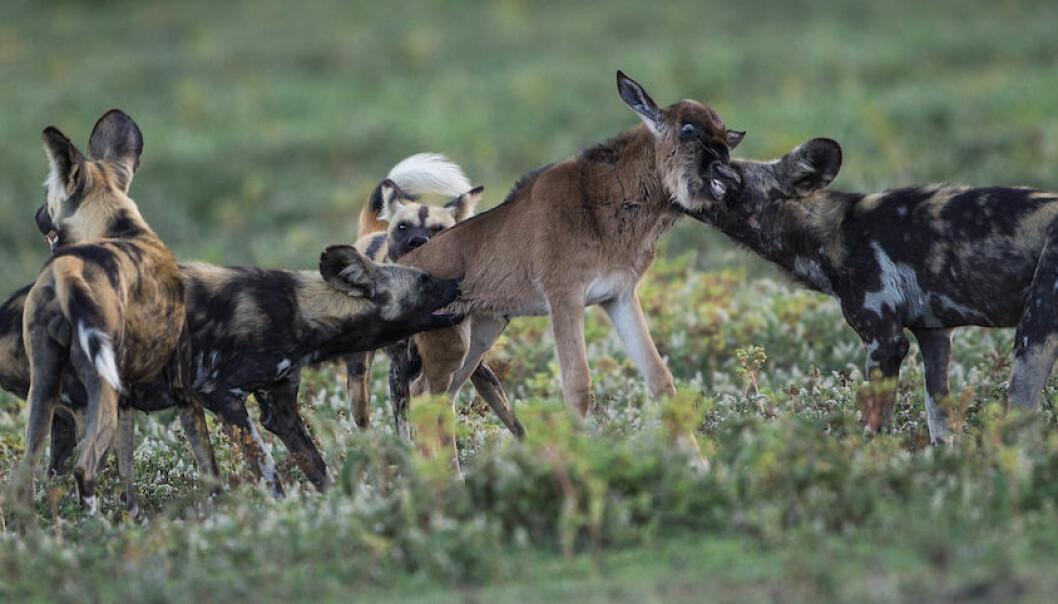 Wild dogs (Lycaon pictus) attack a wildebeest calf. (Photo: Per Harald Olsen/NTNU)