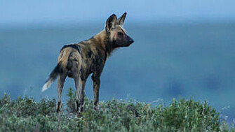 An African wild dog, on the outlook. These are not feral family pets, but a different species altogether. (Photo: Per Harald Olsen, NTNU)